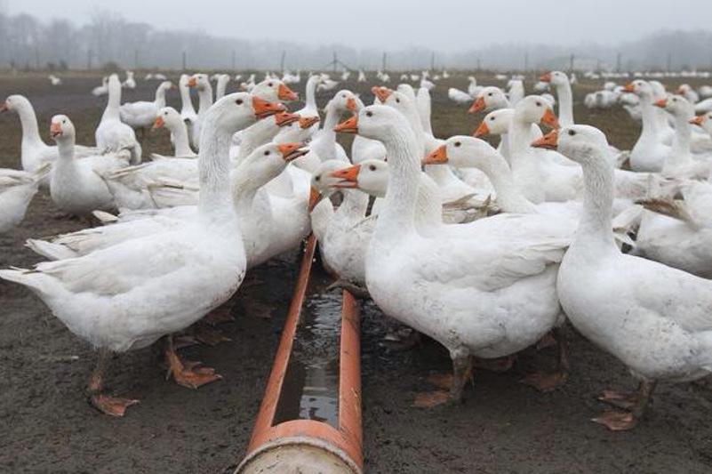 Выращивание разведение гусей 65